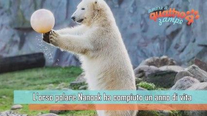 Germania, il compleanno dell'orso polare Nanook