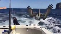 Un phoque et un pélican viennent demander du poisson à un pecheur