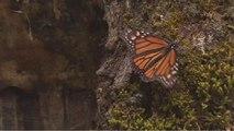 Arrivée des papillons monarques au Mexiquepour y passer l'hiver