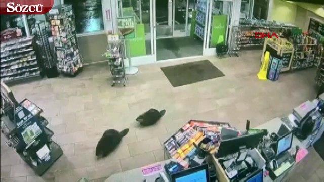ABD'de elektronik mağazasını gezen kunduzlar kamerada