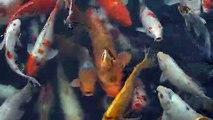 Koi fish - Japanese carp (Cá Koi - cá chép Nhật)
