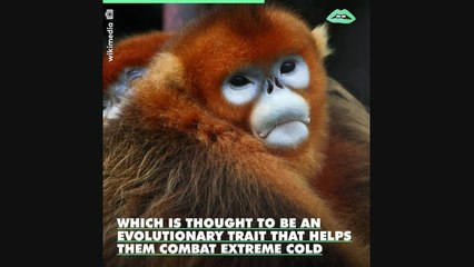 The snub-nosed monkey naturally just looks like a victim of too much plastic surgery.