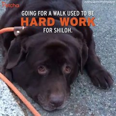 Overweight Dog Sheds More Than 60 Pounds