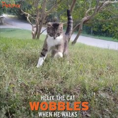 Cat With Cerebellar Hypoplasia Doesn't Give Up