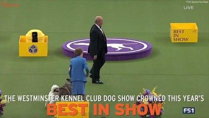 German Shepherd Wins Best In Show At Westminster