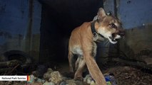Mountain Lion Known For Crossing California Highway Found Dead After Woolsey Fire