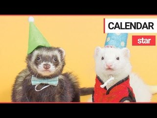 Festive Ferret in his Own Calendar has Already Raked in $3K in Sales Ahead of the Holidays | SWNS TV