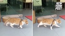 Moonwalking cat unleashes sweet dance moves