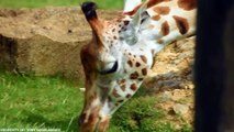 ANIMALS GIVING BIRTH IN THIS VIDEO - video dailymotion