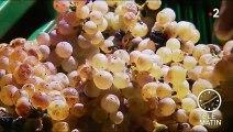 Vin : plongée dans la récolte de raisins gelés