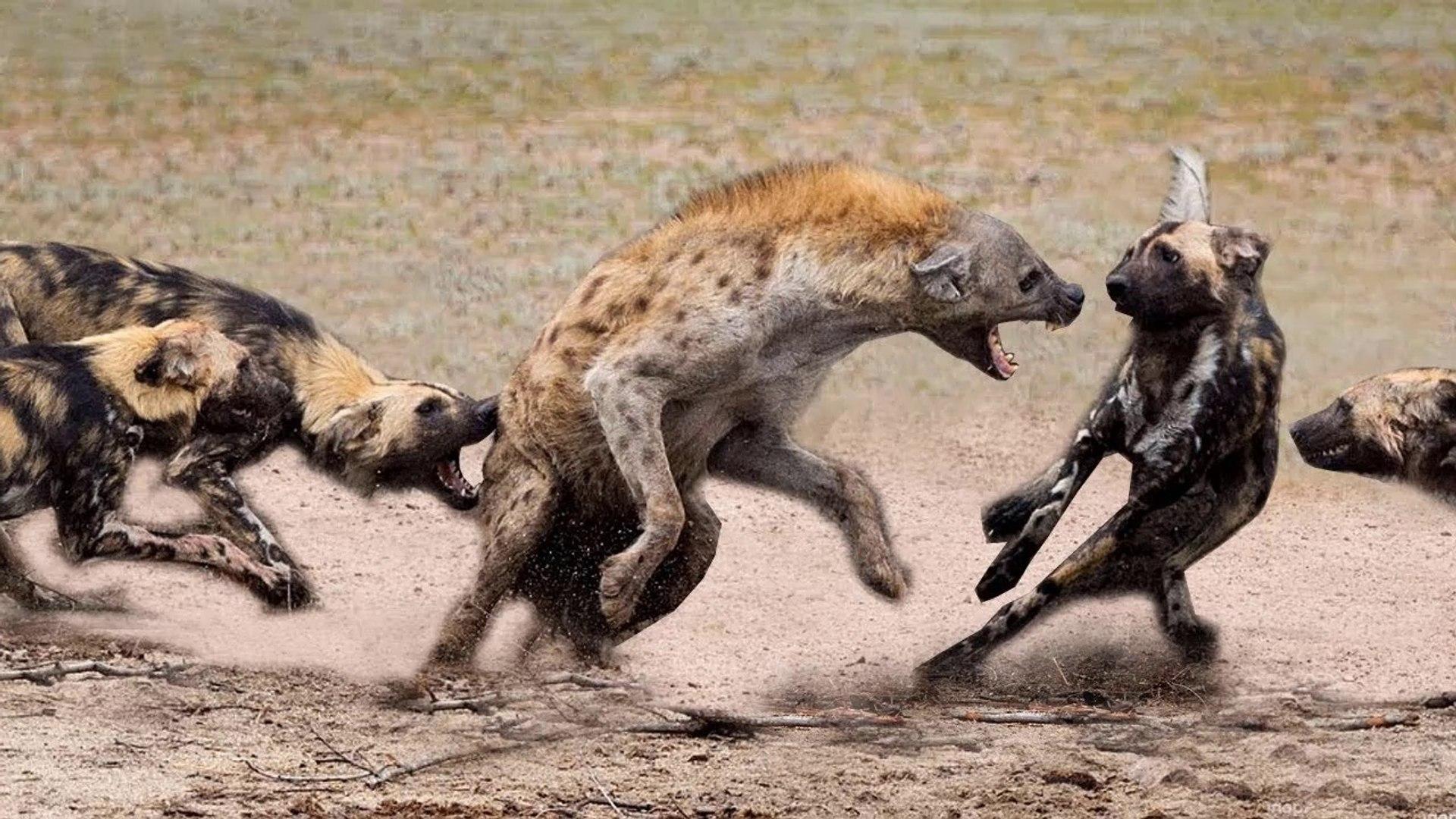 Amazing Wild Dogs Compilation - Wild Dogs Vs Hyenas Amazing Battle