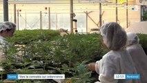 Santé : vers le cannabis sur ordonnance