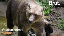 Quand un grizzly et un ours polaire se rencontrent…