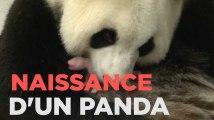 Un bébé panda naît en Belgique