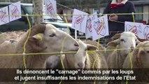 Pour dénoncer les attaques des loups, les brebis montent à Paris