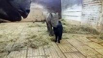 Un chat et un bébé rhinocéros jouent ensemble... adorable