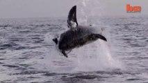 Ils filment les sauts de grands requins blancs au large de l'afrique du sud