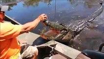 Il donne à manger à un énorme alligator sauvage depuis son bateau