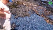 Des milliers de méduses bleues recouvrent cette plage