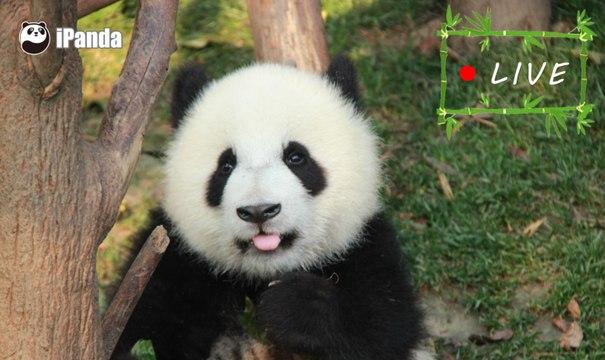 24/7 HD Panda Live @ iPanda