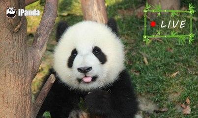 24/7 HD Panda Live @iPanda