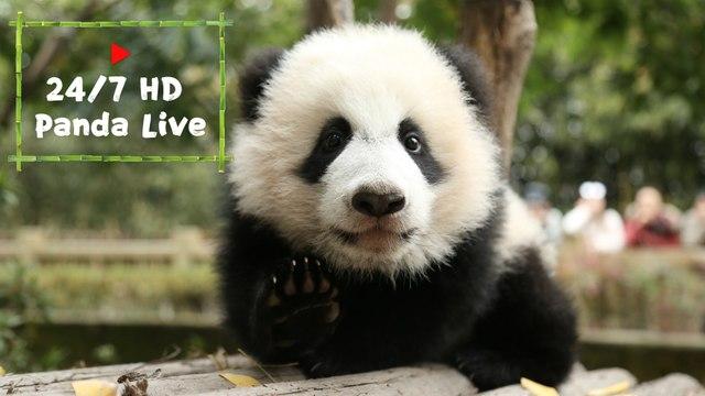 24/7 HD Panda Live