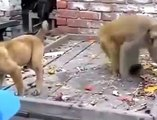 Fight BETWEEN MONKEY AND DOG ...Monkey fighting with dog ....
