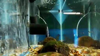 EPCAMR's Brook Trout Tank Live Stream 1/3/19 Alevin in the tank