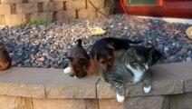 Un pauvre chat submergé par des chiots en folie