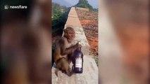 Cheeky monkey chugs a beer