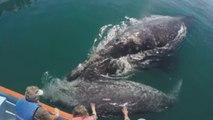 La ballena gris llega a los apacibles santuarios mexicanos de Baja California Sur