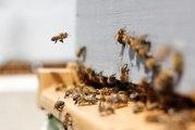 Les effets des pesticides sur les abeilles