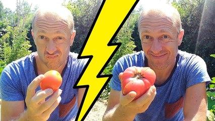 tomate du potager ou tomate du supermarché !