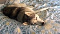 Quand ton chien ne veut pas se lever du lit
