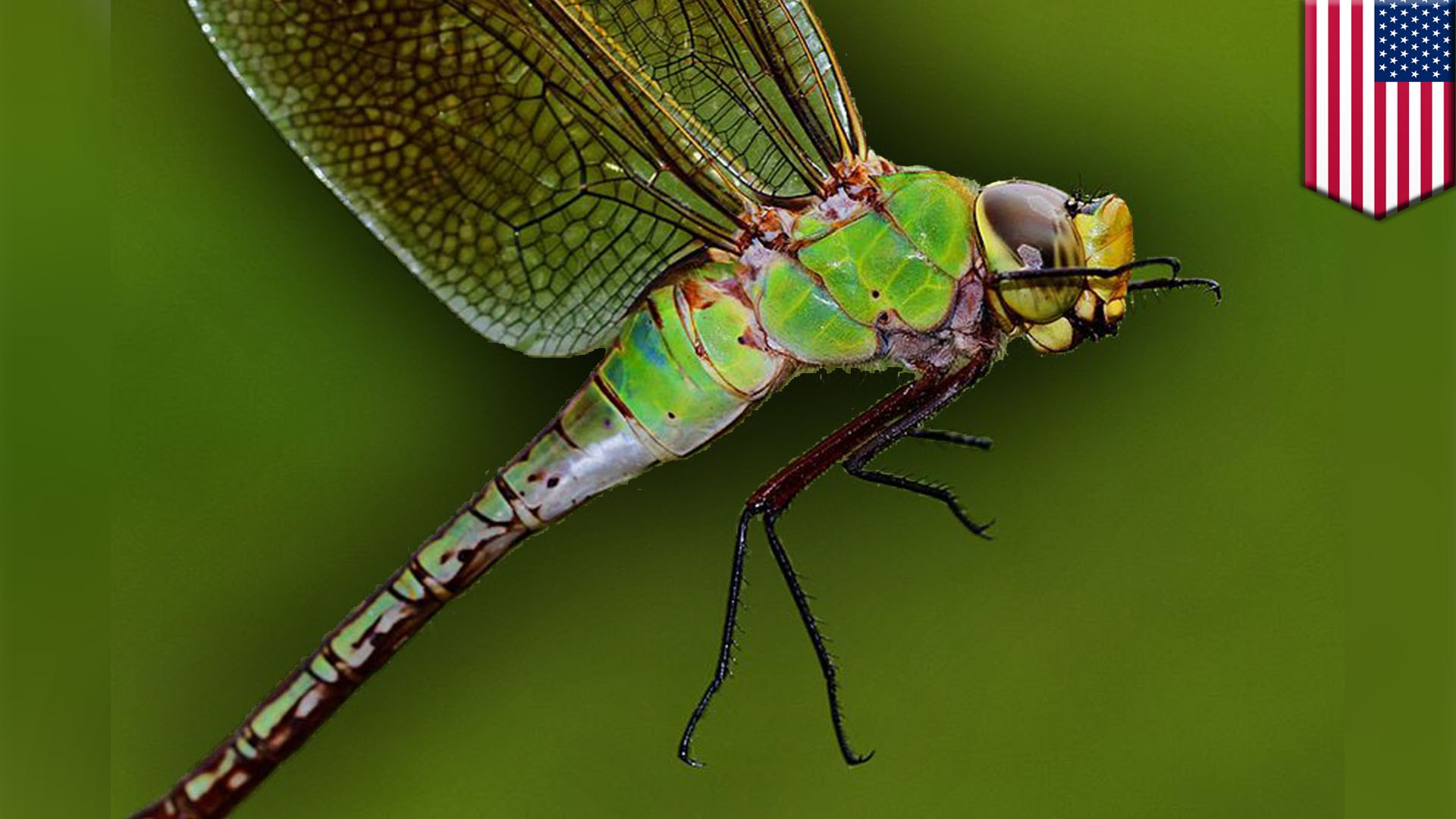 New research reveals dragonfly annual migration cycle
