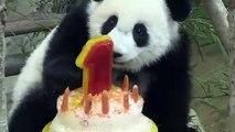 Malaisie: première bougie pour un panda au zoo de Kuala Lumpur