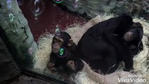 2 year old Chimpanzee Dayo with his little sister and bursting bubbles