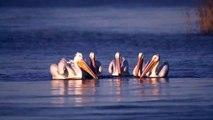Des pélicans parfaitement synchronisés pendant qu'ils mangent... Danse magnifique