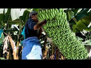 Maintaining & Cultivating  Banana  Before Harvesting