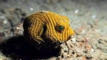 Juvenile Starry Puffer Fish