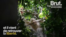 Sur l'île de Bornéo, un orang-outan albinos a été remis en liberté