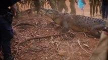 Ils capturent un énorme crocodile géant mangeur de vaches en Australie