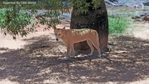 Six-Year-Old Boy Hospitalized After Dingo Attack In Australia