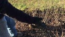 Taille des vignes dans le Beaujolais