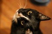 Les moustaches de chat : un organe sensoriel essentiel