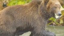 [NATURE] Predator bear taking salmon twice,창사특집 UHD 다큐멘터리  20190128
