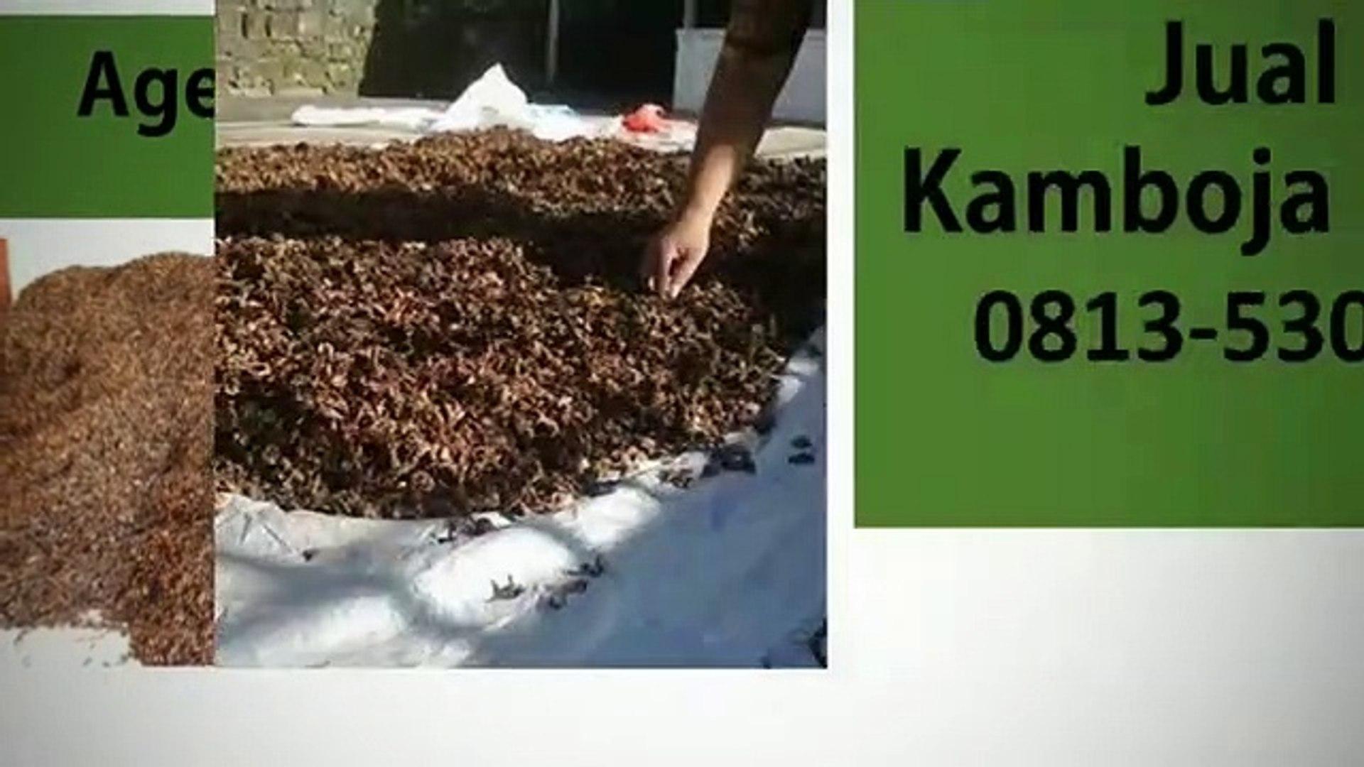 TERLARIS!!! 0813-5303-8159, Grosir Bunga Kamboja Kering Surabaya