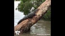En Australie, les crocodiles prolifèrent dans les rues après les inondations
