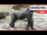 Adorable moment mischievous baby gorilla attempts to annoy his older brother | SWNS TV