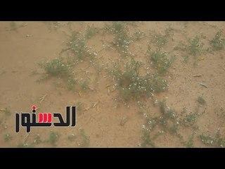 الدستور | سرب جراد يهاجم الحدود المصرية قادمًا من السودان